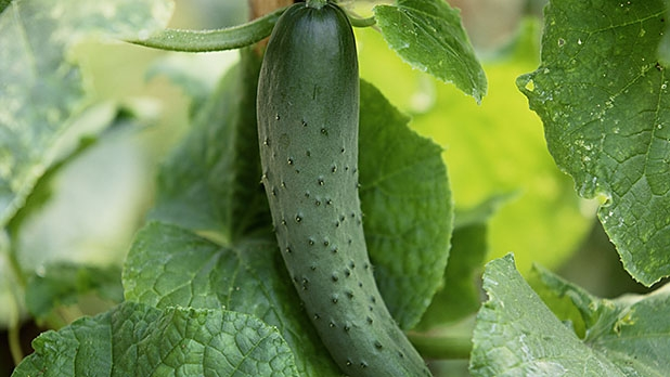 mj-618_348_cucumbers-a-garden-for-salad-days