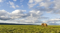 You don't have to break the bank to see a bull walking across the grasslands in Addo Elephant National Park.