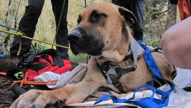 Ranger, a Great Dane-Mastiff mix, was rescued in Santiam State Forest and will recover.