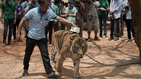 A Thai wildlife official scans the microchip implanted in a tiger at the Tiger Temple in Kanchanaburi province on April 24, 2015.