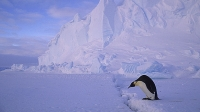 An Emperor Penguin crosses a crack in the ice on the Riiser-larsen Ice Shelf.