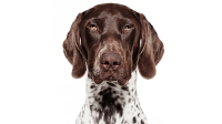 mj-618_348_german-shorthaired-pointer-the-right-dog-for-you