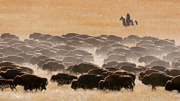 mj-618_348_herd-buffalo-at-the-custer-state-park-roundup