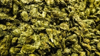 mj-618_348_hops-became-a-valuable-cash-crop-the-year-in-beer-2015