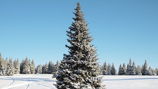 Cutting Your Own Christmas Tree In A National Forest