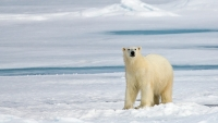 mj-618_348_in-the-land-of-the-polar-bear