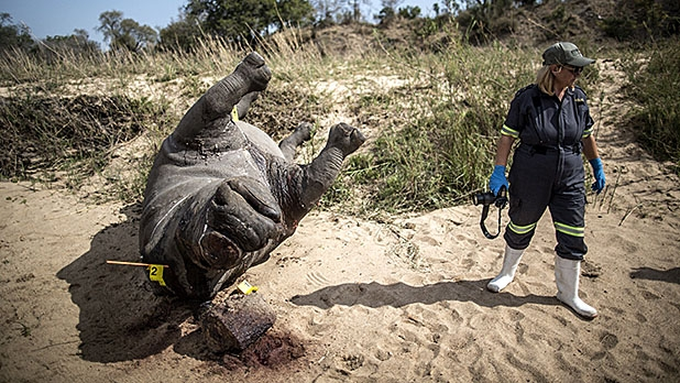 The carcass of a poached and mutilated white rhino lies on the banks of a river as a South African Police Services forensic investigator works on the crime scene on September 12, 2014 at Kruger National Park.