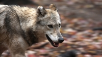 mj-618_348_joining-michigans-wolf-pack-on-isle-royale