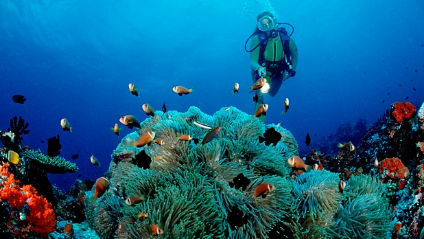 A diver observes an anemone off the Meemu Atoll, Maldives.