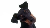 mj-618_348_manchester-terrier-the-right-dog-for-you