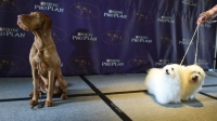 The Wirehaired Vizsla (left) and Coton de Tulear (right) are the two newest breeds at the Westminster Dog Show.