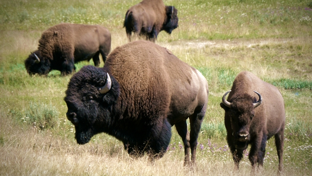 mj-618_348_obama-and-the-environment-what-he-can-do-bring-back-the-bison