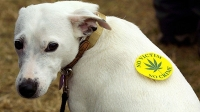Medical marijuana can also treat cats and dogs.