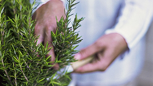 mj-618_348_rosemary-herbs-for-your-garden-and-your-grill