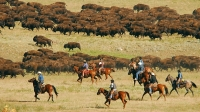 """Custer State Park's annual Buffalo Roundup brings the herd together for branding, vaccinations, and to reduce the herd size by sales so that the park is not overgrazed. Cowboys on horseback and rangers in trucks drive the buffalo into the corrals as thousands watch the """"old west"""" spectacle."""