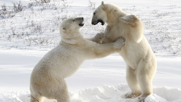 mj-618_348_see-polar-bears-in-the-wild-in-canada-experiences-gift-guide