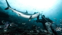 mj-618_348_shark-diving-without-the-cage