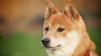 mj-618_348_shiba-inu-the-right-dog-for-you