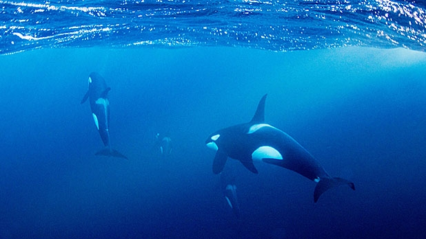 mj-618_348_snorkeling-with-orcas-in-norway