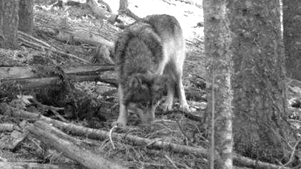 mj-618_348_stalking-oregons-lone-wolf-before-he-disappears