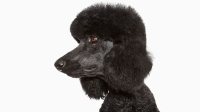 mj-618_348_standard-poodle-the-right-dog-for-you