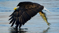 An eagle fishes on the Susquehanna river.