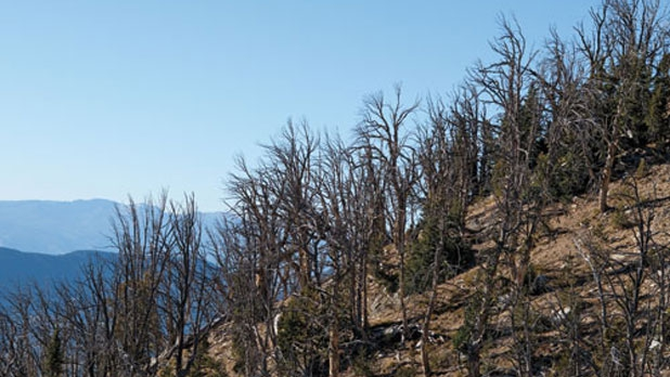 Eighty percent of Yellowstone's signature whitebark pines are dead, like these, or close to it.