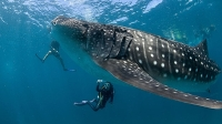 Divers encounter a whale shark off the Maldives.