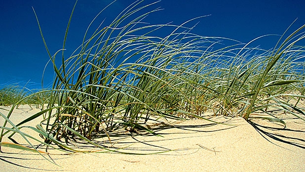 Spinifex grass could revolutionize the condom industry.