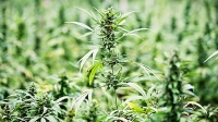 Farmers still can't legally grow more than five marijuana plants in Jamaica.